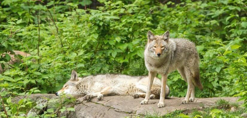 Info about types of coyotes & foxes found in Georgia