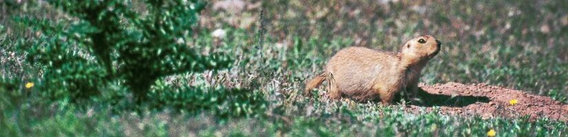 Gophers: Causes havoc on your lawn