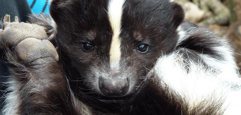 How to skunks away
