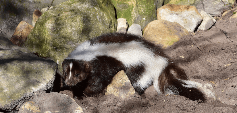Seven skunk removal tips to keep skunks out of the garden