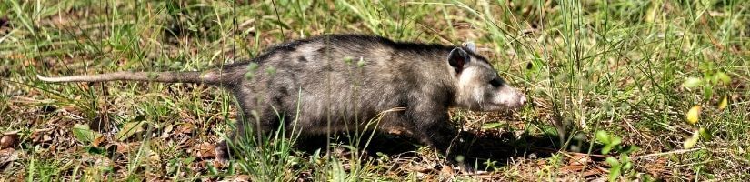 Opossums: Peaceful but messy!