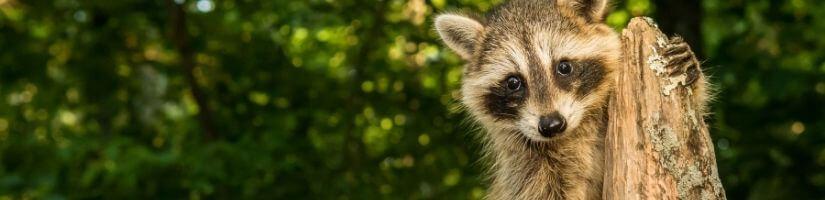 Raccoons- Highly Destructive