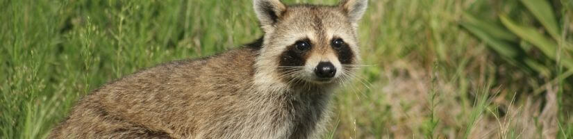 Eliminate Racoons Using Trapping and Removal Service