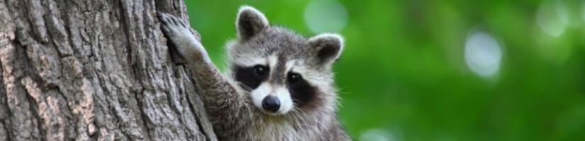 Quick & Affordable Wildlife Solutions: Raccoon Removal