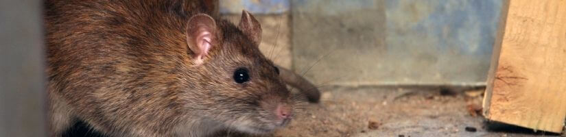 Rats: Revolting Rodents!