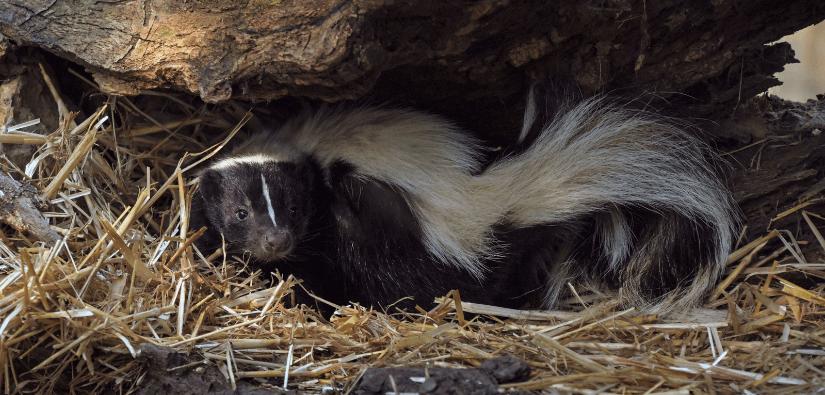 Skunk removal tips