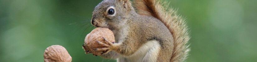 Wildlife Control Services: Squirrel Removal