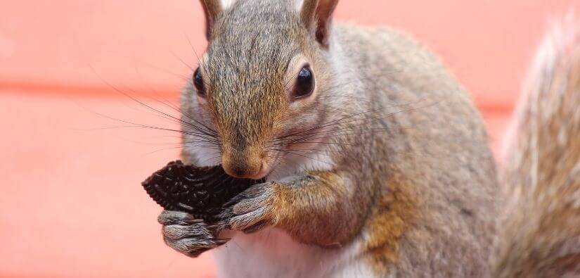 Wildlife Removal in Duluth, Georgia: Get Rid of Racoons, Squirrels, Snakes and Much More!