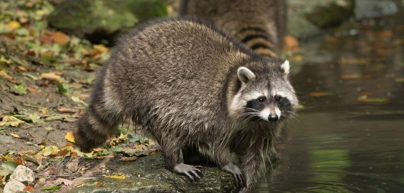 Wildlife Removal in Cumming, Georgia: Solution to Relocating your Pesky Guests
